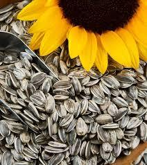 Yellow Color Sunflower Seed