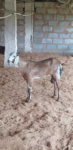 Beetal Goat - Beetal Goat Suppliers, Dealers & Wholesalers