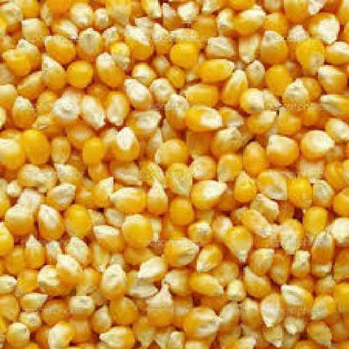 Farm Fresh Yellow Maize Size: Vary