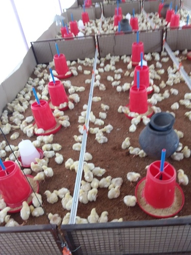 Poultry Farm Chicks - Manufacturers & Suppliers, Dealers