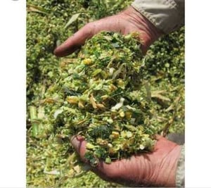 Feed Grade Nutritional Corn Silage