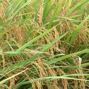 Paddy Seed For Cereal Grains