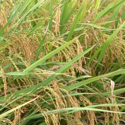 Brown Paddy Seed For Cereal Grains