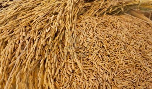 Paddy Seeds