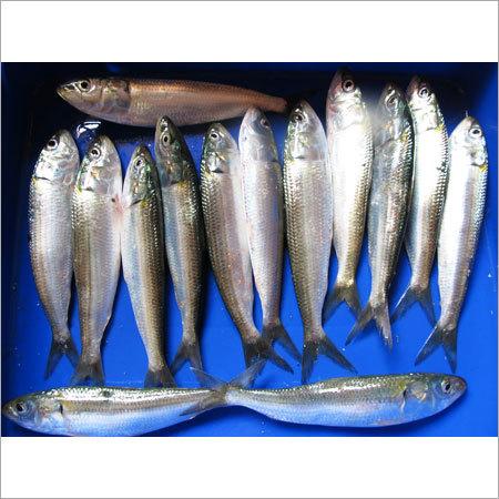 Frozen Sardine WR in Kochi, Kerala - Pinnacle Exports & Imports
