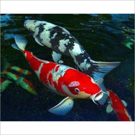 price of koi fish