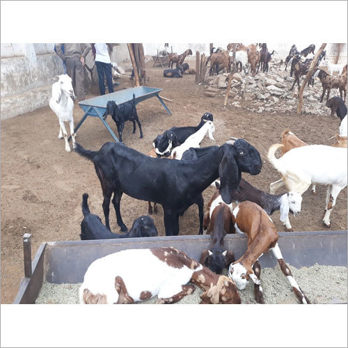 Barbari Goat - Barbari Goat Suppliers, Dealers & Wholesalers