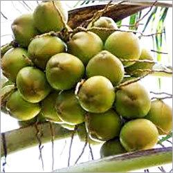 Tender Coconut in Kanyakumari, Tamil Nadu, India - KIRUBHA