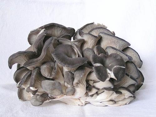 Oyster Mushroom Spawn Wholesaler - EVERGREEN MUSHROOM, B-9