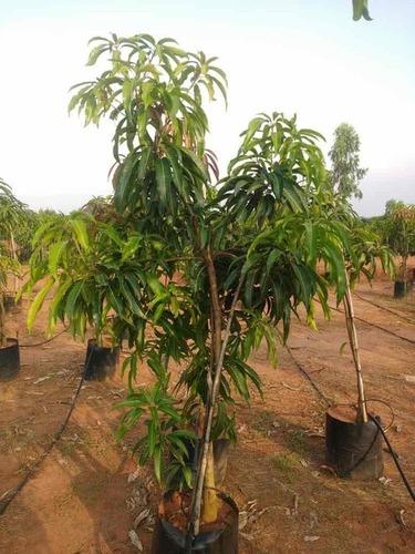 Kesar Mango Tree