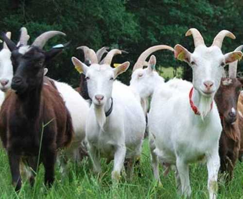 Goat Farming Services, Goat Farming Services At Affordable