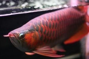 Different Species Arowana Fish