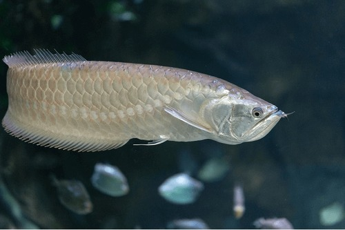 Grade AAA Arowana Fish