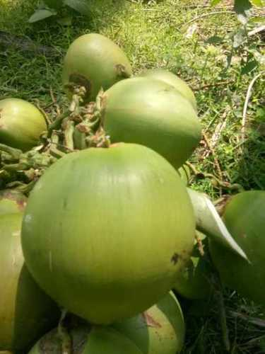 Fresh Green Tender Coconut Cultivation Type: Common