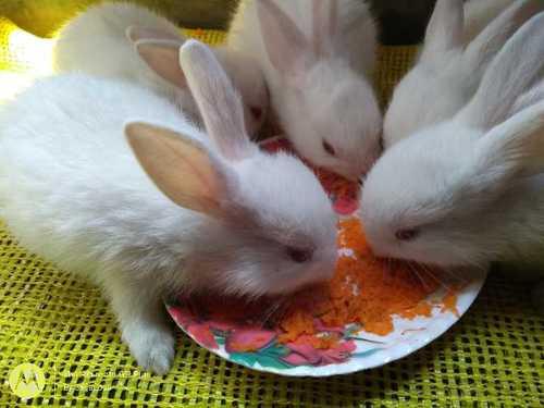 Healthy Live White Rabbits