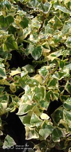 Ivy Plant For Air Purifier
