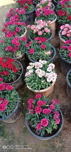 Outdoor Carnation Flower Plant Multiple Size
