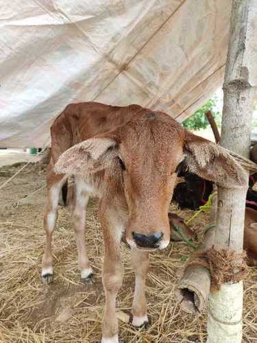 Cow For Dairy Farming