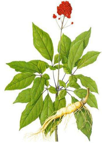 Herbal Ginseng Plant Extract