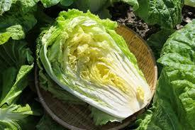 Green Color Chinese Cabbage Shelf Life: 3-6 Days