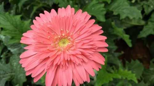 Natural Fresh Gerbera Flower At Best Price In Bengaluru Karnataka Harvestify Farm Ventures