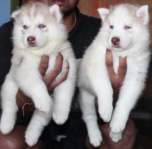 White Lively Pet Dogs Gender: Female