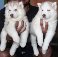 White Lively Pet Dogs