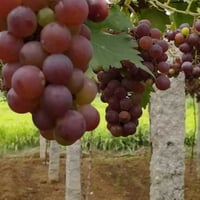 Export Quality Fresh Black Grapes