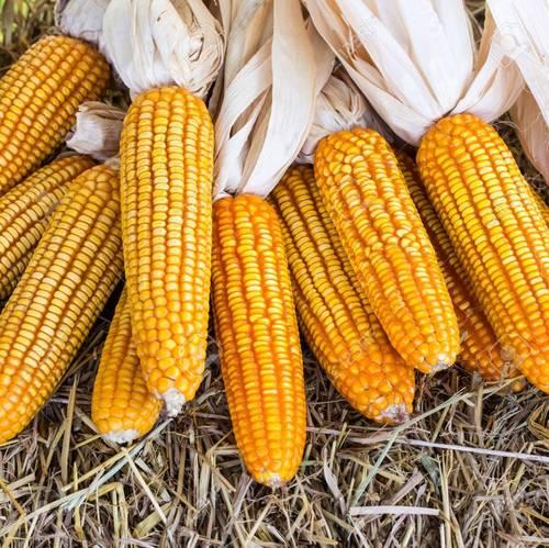 Fresh Impurity Free Yellow Maize