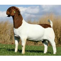 Brown And White Boer Goat