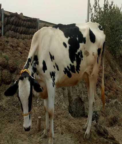 High Breed HF Cow