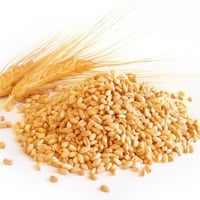 High Protein Indian Wheat Grain
