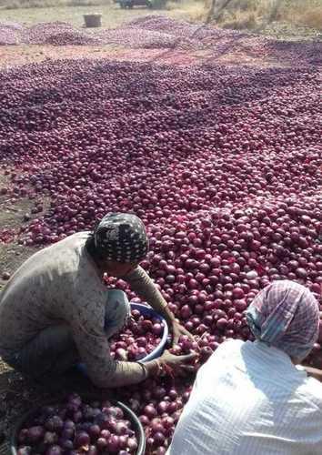 Fresh Round Red Onion