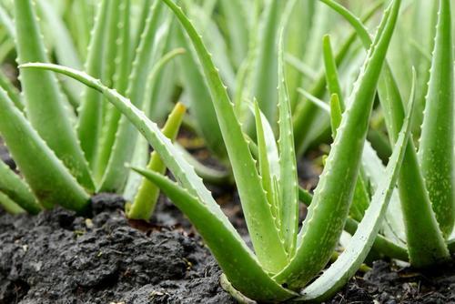 Aloe Vera Leaf For Medicine
