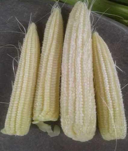 Best Price Fresh Baby Corn