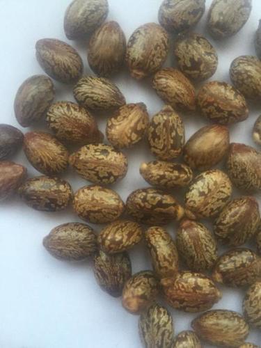 Brown Color Castor Seed