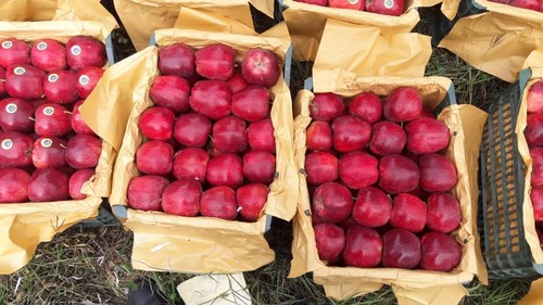 Fresh Delicious Red Apples