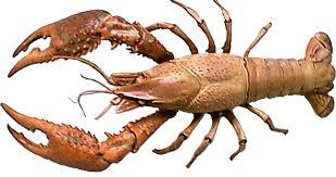 Long Lasting Fresh Crayfish