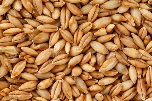 Premium Quality Barley Grain
