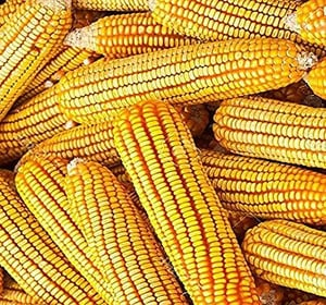 Yellow Corn Yellow Maize For Poultry Feed