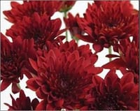 Red Chrysanthemum Flower Bunch