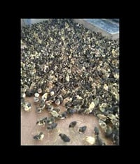 Duck Chicks For Poultry Farming