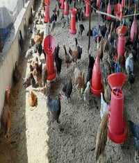 Poultry Farming Multicolor Country Chicks