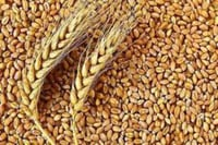 Highly Nutritional Organic Wheat