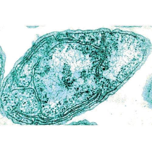 Nitrosomonas Organism