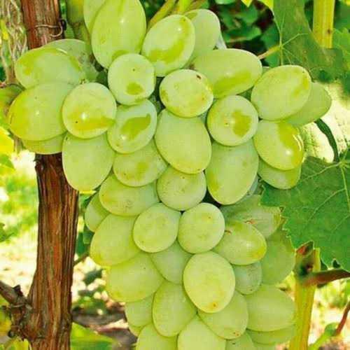 Export Fresh Green Grapes