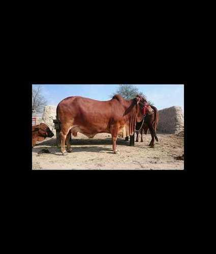 Sahiwal Cow In Hyderabad
