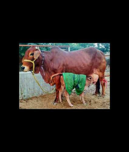 Young Sahiwal Cow