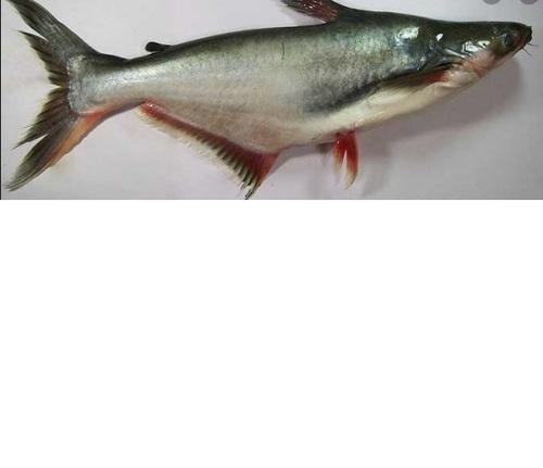 Frozen Whole Pangasius Fish