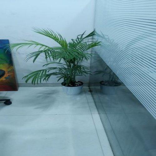 Areca Plam With Plastic Pot
